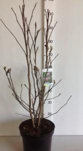 Magnolia Susan 60-80