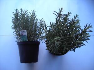 Rosmarinus officinalis P14