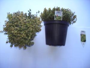 Thymus citriodorus Aureas P14