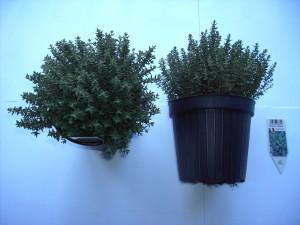 Thymus Faustini P14