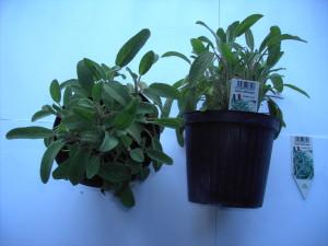 Salvia officinalis P14