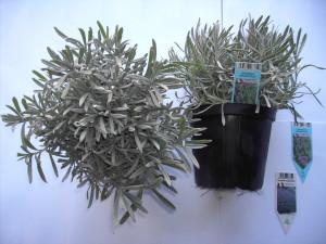 Lavandula angustifolia P14