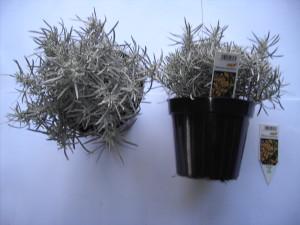Helichrysum italicum P14
