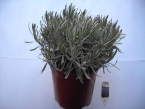 Lavandula angustifolia P18