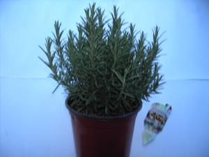 Rosmarinus officinalis P18